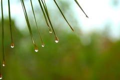 Free Pine Needles Royalty Free Stock Photography - 15331617