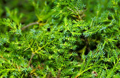 Pine Needles Royalty Free Stock Photos