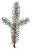 Pine needles. Needles of blue Colorado pine royalty free stock image