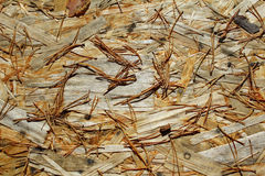Pine needles Royalty Free Stock Photo