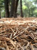 Pine needles. Portrait photo of a view from the floor of a pine forest royalty free stock image