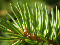 Pine Needles. Closeup of pine needles royalty free stock photography