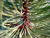 Pine needles 4 Stock Image