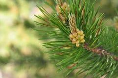 Free Pine Needles Royalty Free Stock Images - 56961889