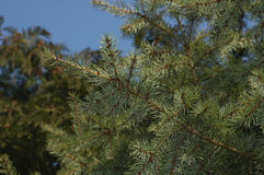 Pine Needles. And branches against blue sky Royalty Free Stock Photo
