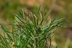 Pine needles. Close up of the green pine needles Royalty Free Stock Photography
