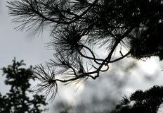 Pine needles against a gray sky Royalty Free Stock Photo