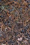 Pine needles. Royalty Free Stock Photography