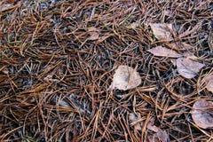 Pine needles. Royalty Free Stock Image