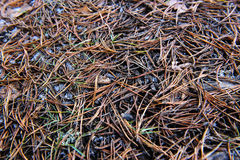 Pine needles. Royalty Free Stock Images