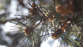 Pine Needles With Bokeh. Some pine needles moved by the gentle wind stock video