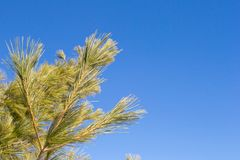 Pine needles on branch against clear cloudless blue sky royalty free stock images