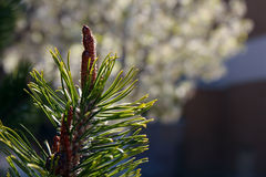 Pine Needles Stock Photography
