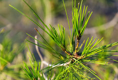 Pine needles on a branch Royalty Free Stock Images