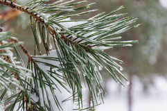 Pine needles Stock Photos
