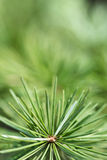 Pine needles. Close up of pine needles Stock Photography