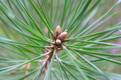 Pine-needles Royalty Free Stock Photos