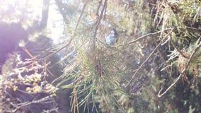 Pine Needles Closeup Lens Flare stock footage