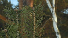 Pine needles. Closeup. Pine tree. Young pine needle branch and old pine tree stock video footage