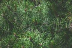 Pine needles Stock Photos