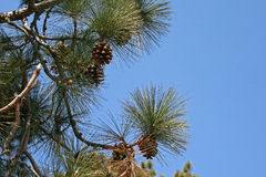 PINE NEEDLES AND CONES ON TREE Stock Photo