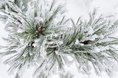 Pine needles covered with frost in the winter woods Stock Images