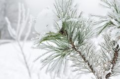 Pine needles covered with frost in the winter woods Stock Photography