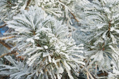 Pine needles covered hoarfrost Stock Image
