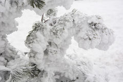 Pine needles covered in snow Royalty Free Stock Image
