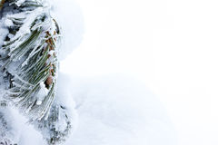 Pine needles covered with snow and a young hotshot Stock Photo