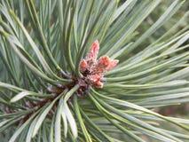 Pine needles detail Stock Photos