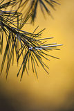Pine needles details Royalty Free Stock Image
