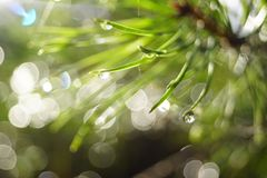 Pine needles with drops and highlights after rain in sunlight stock photos