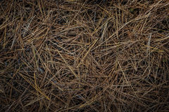 Pine needles on forest floor Stock Photo