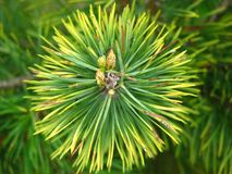 Pine, Needles, Forest, Green Royalty Free Stock Images