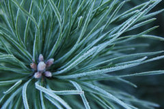 Pine needles in frost Stock Image