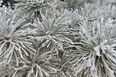 Pine needles in frost Royalty Free Stock Photography