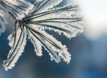Pine needles in frost in sunlight rays Royalty Free Stock Photo