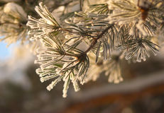Pine needles in frost in sunlight rays Stock Photography