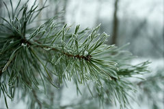 Pine needles in hoarfrost Stock Photography