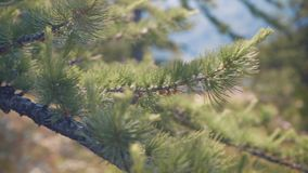 Pine needles in macro. View stock video footage