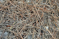Pine needles Royalty Free Stock Photo