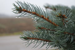 Pine needles. Morning Dew clings to pine trees Royalty Free Stock Photography