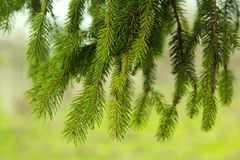 Pine needles Royalty Free Stock Image