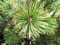 Pine Needles on Pine Trees Stock Photography