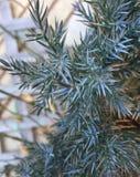 Pine Needles. Sharp and defined pine needles. Nature Stock Photo