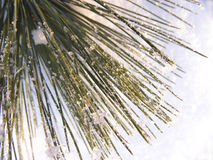 Pine needles on snow. Macro picture Royalty Free Stock Images