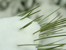 Pine needles in snow royalty free stock photos
