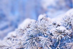 Pine needles in the snow Royalty Free Stock Photography