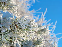 Pine needles with snow crystals Stock Photo
